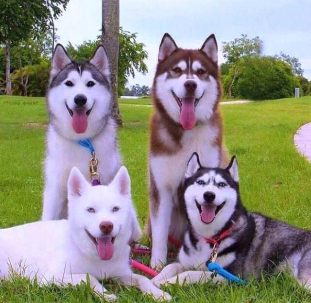 I Want My Future Family To Look Like This Siberian Husky Dog