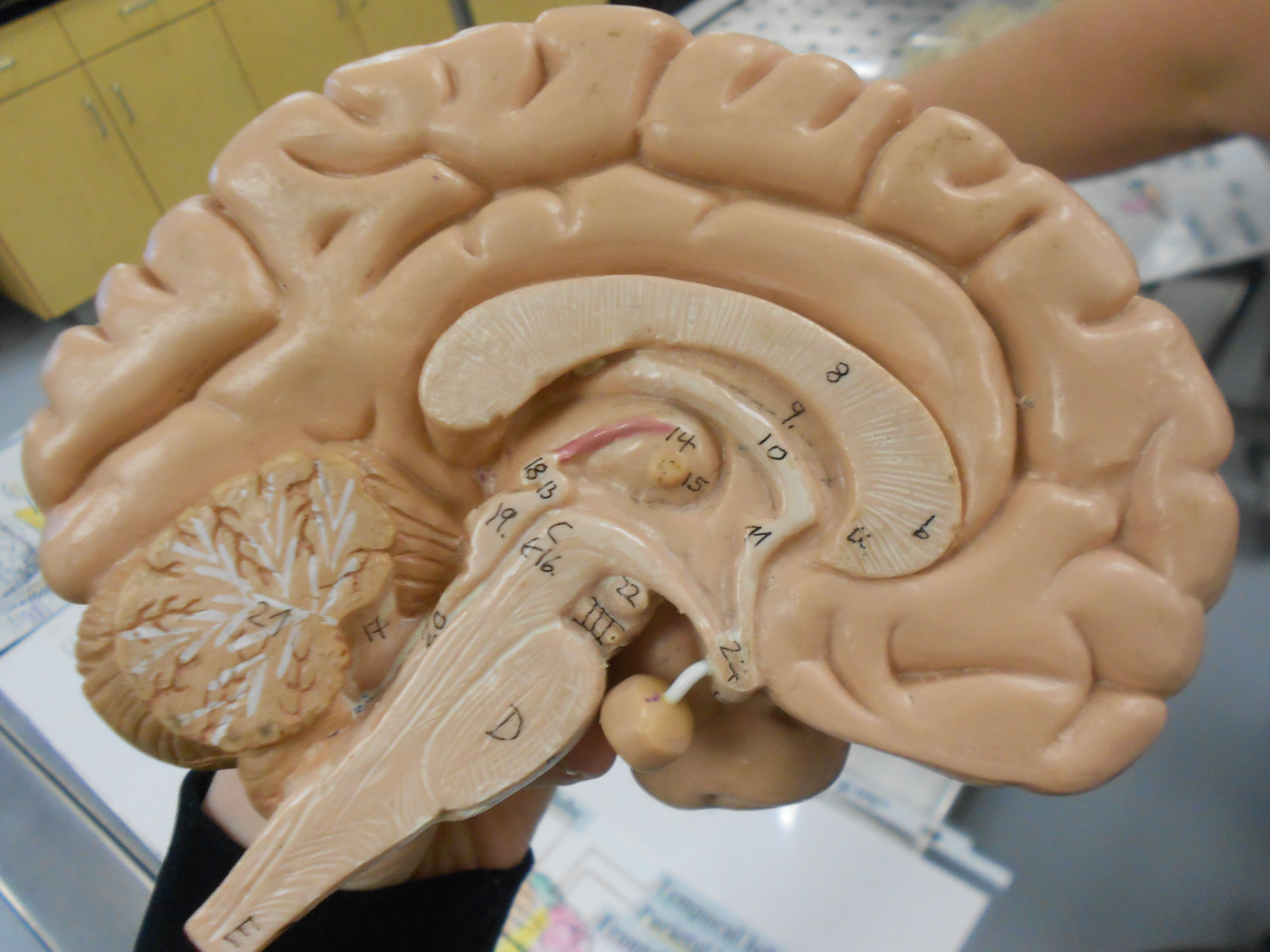 Hemisphere Brain Model Featuring A Pituitary Gland