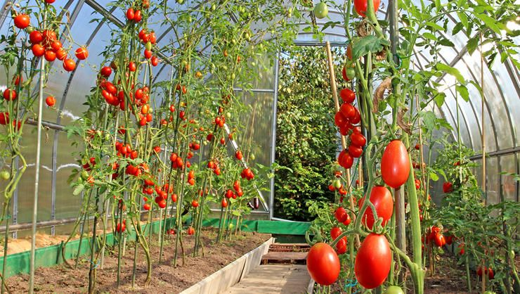 The 4 Best Ways To Support Your Tomato Plants Grow Organic Growing Tomatoes Growing Organic Tomatoes