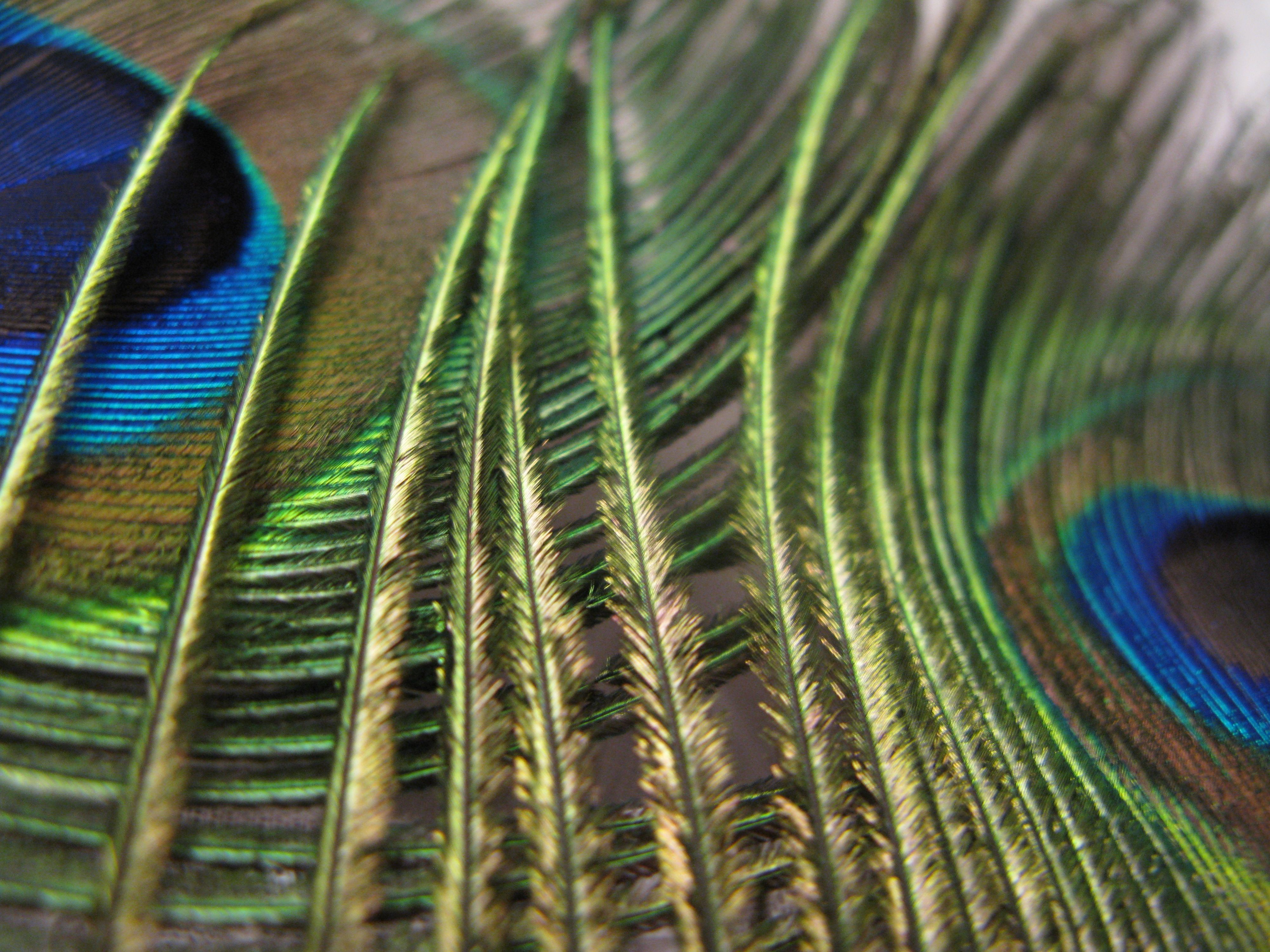 Peacock Feathers.....by Tracey-Jane Anderson, Multi Media Artist.