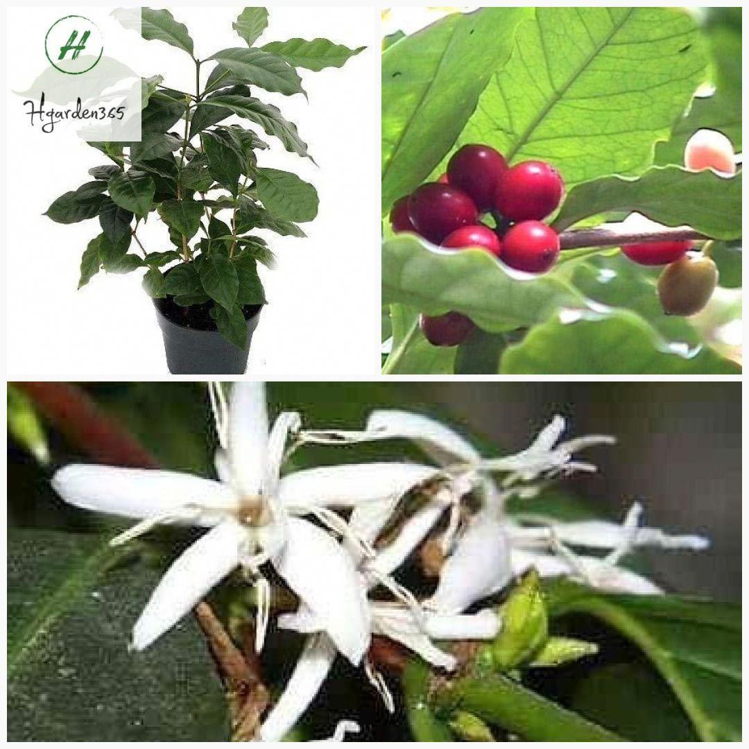 15 Fantastic Coffee Beans Dark Roast 5lbs In 2020 Arabica Coffee Beans Coffee Bean Roasters Arabica Coffee