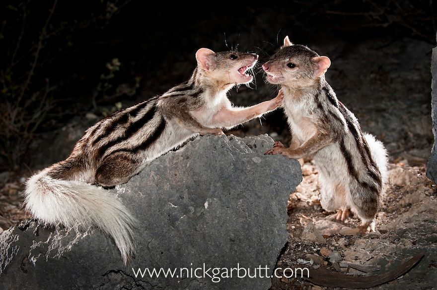 mongooseGalidictisstripedgiantfighting (With images