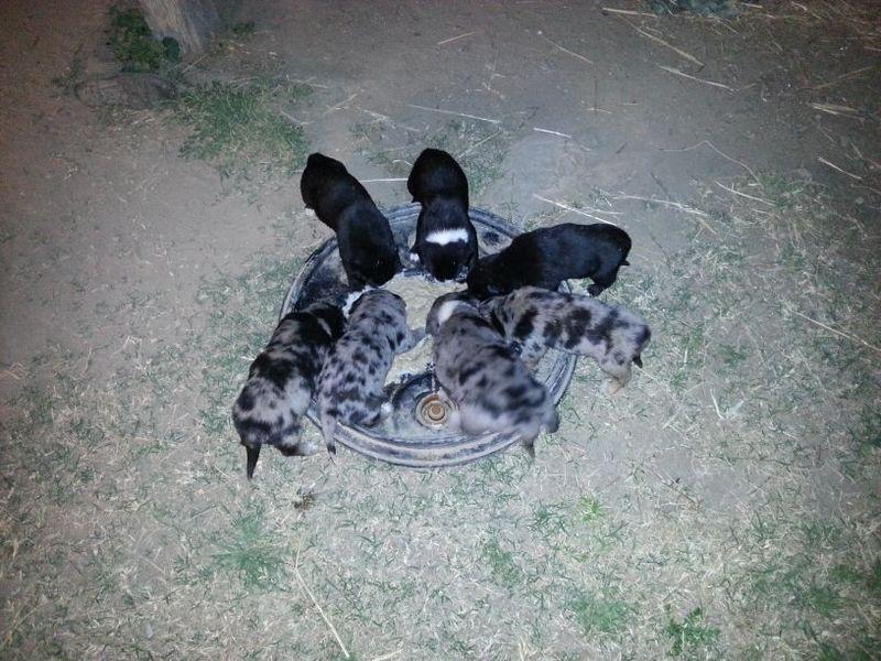 Dogs For Sale Bendigo Area