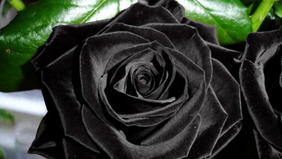 30 black rose hybrid rare rose seeds fresh exotic dark rose 30 black rose hybrid rare rose seeds fresh exotic dark rose flower seeds mightylinksfo