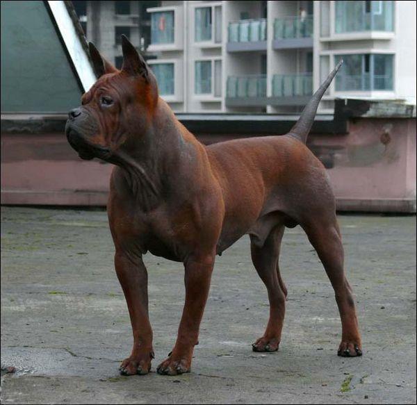 Chinese Chongqing Dog Chinese Dog Unusual Dog Breeds Dog