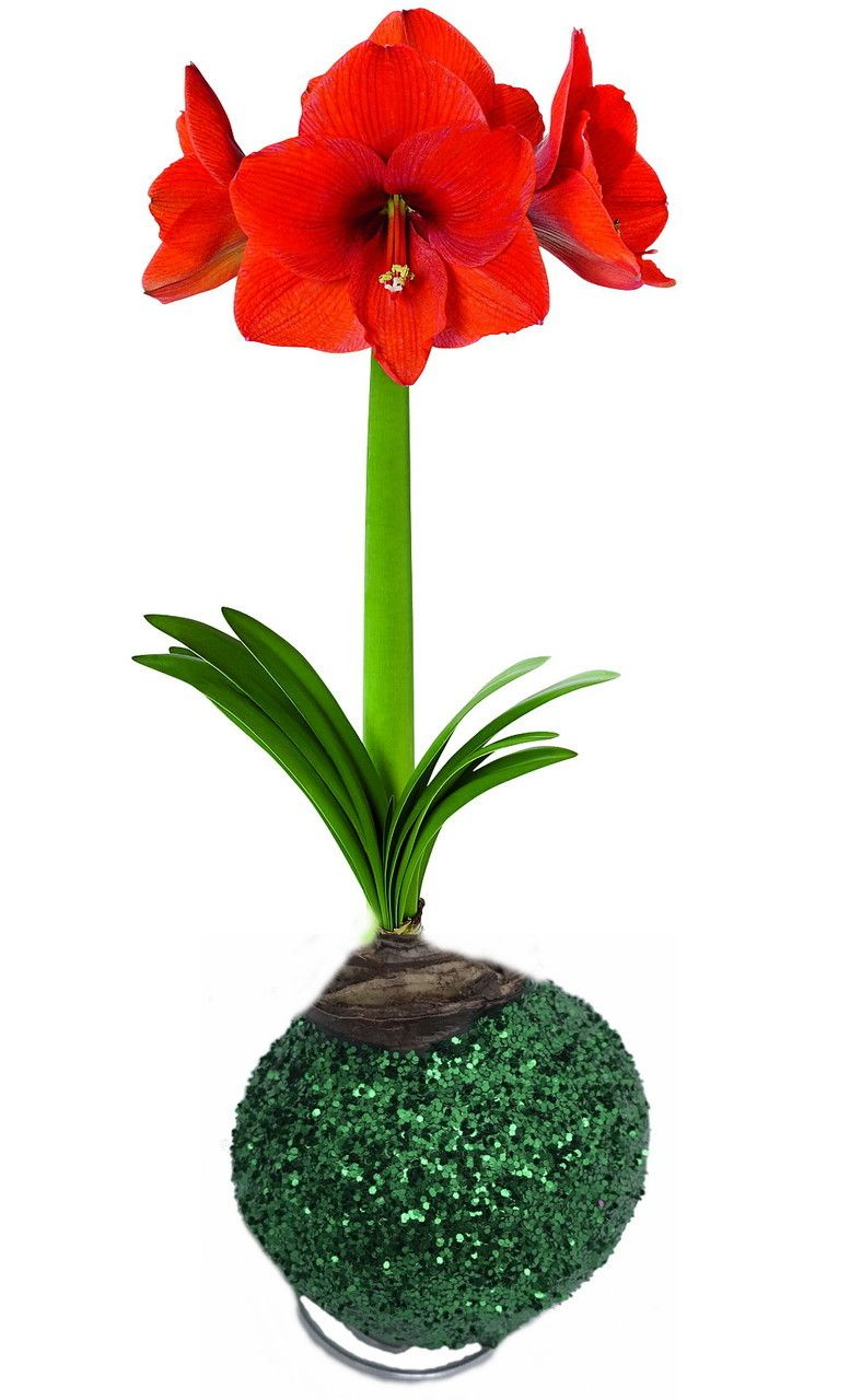 Glitter Dipped Wax Amaryllis Bulb Green Amazing No Soil Water Needed To Bloom Hirt S Gardens Amaryllis Bulbs Amaryllis Bloom