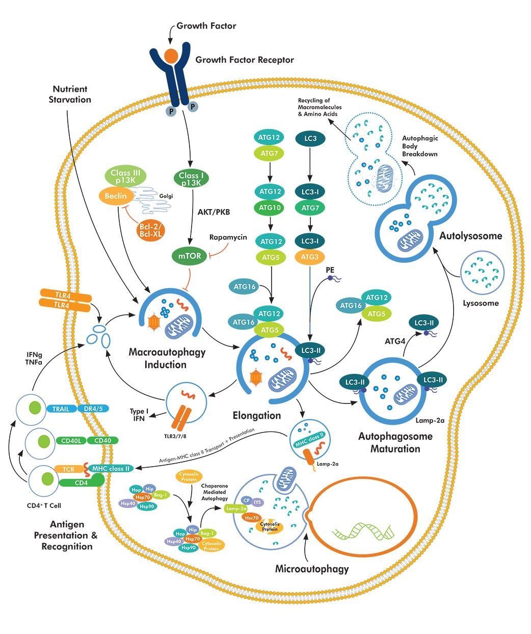 Autophagy Pathway Macroautophagy Autophagy Is An Essential Conserved Self Eating Process That Cells Perfor In 2020 Medical School Studying Cell Biology Interactive