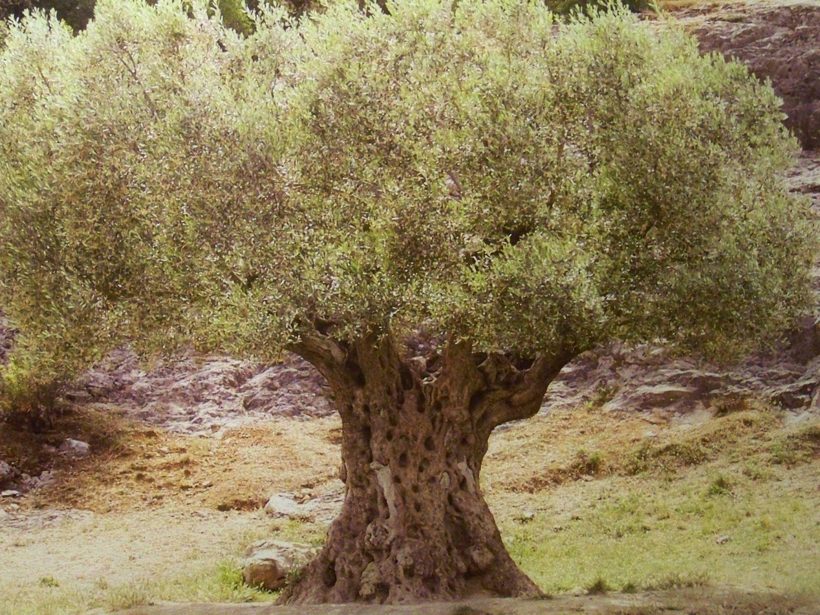 Israel Olive Tree | Olivia\'s Olive Grove | Pinterest