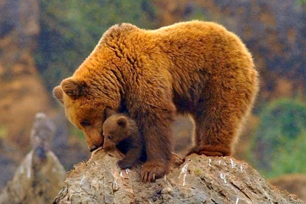 Pin By Dino On Bears