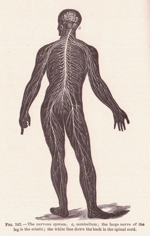 Fun Facts About The Nervous System: Peripheral Nervous System ...