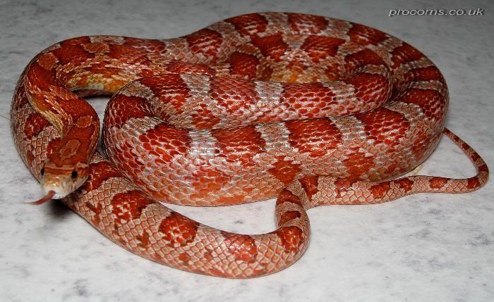 Hypomelanistic Hypo A Corn Snake Corn Snake Reptiles And Amphibians Snake