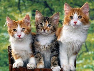 Fond D Ecran Chat Gratuit Schattige Kittens Mooie Katten Schattigste Dieren