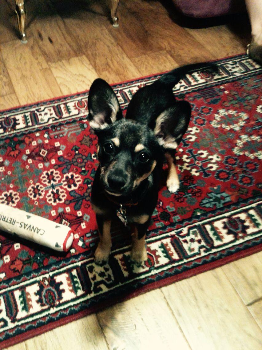 Christmas pup ♡
