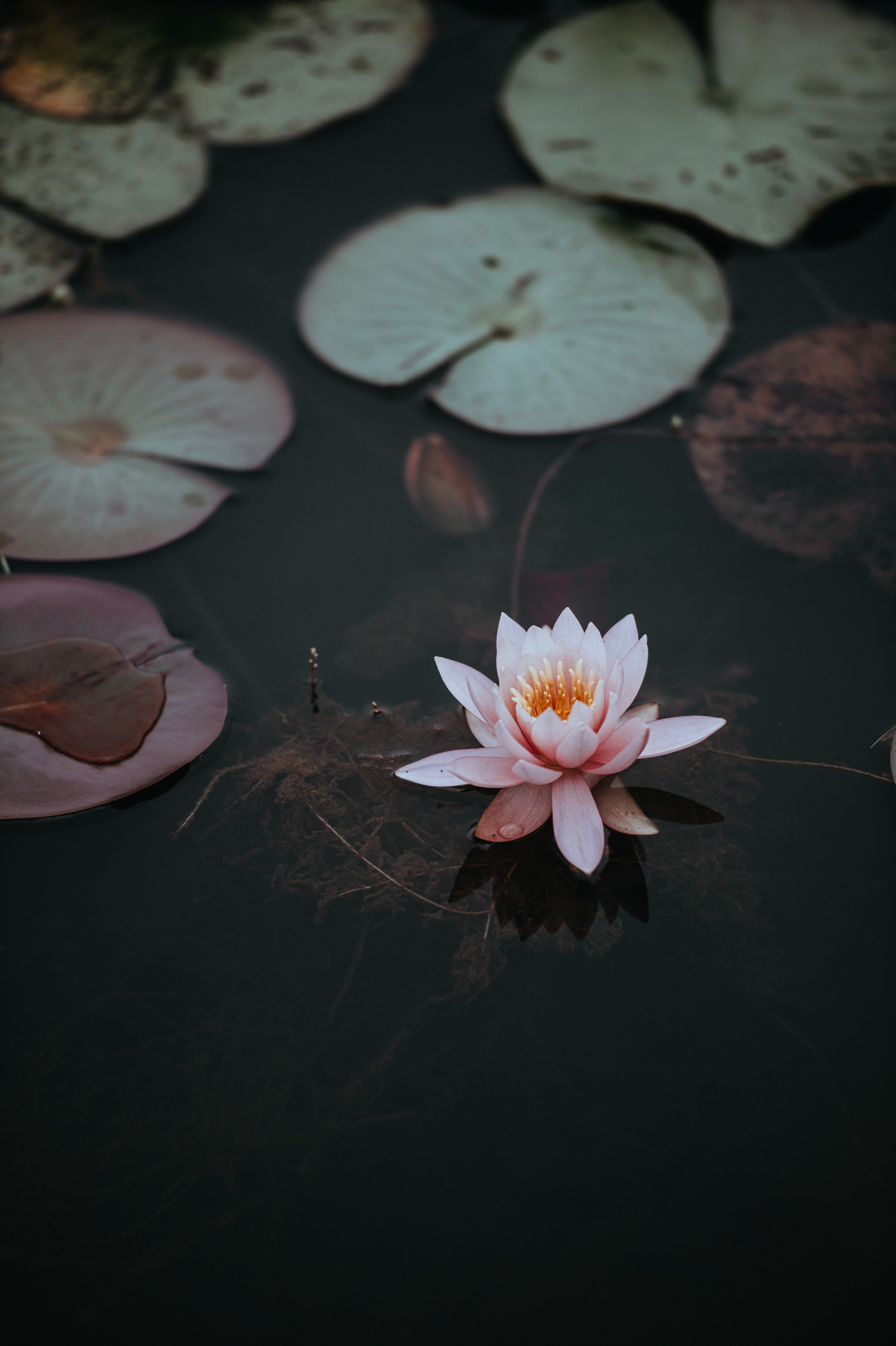 A pink water lily next to lily pads on the dark surface of