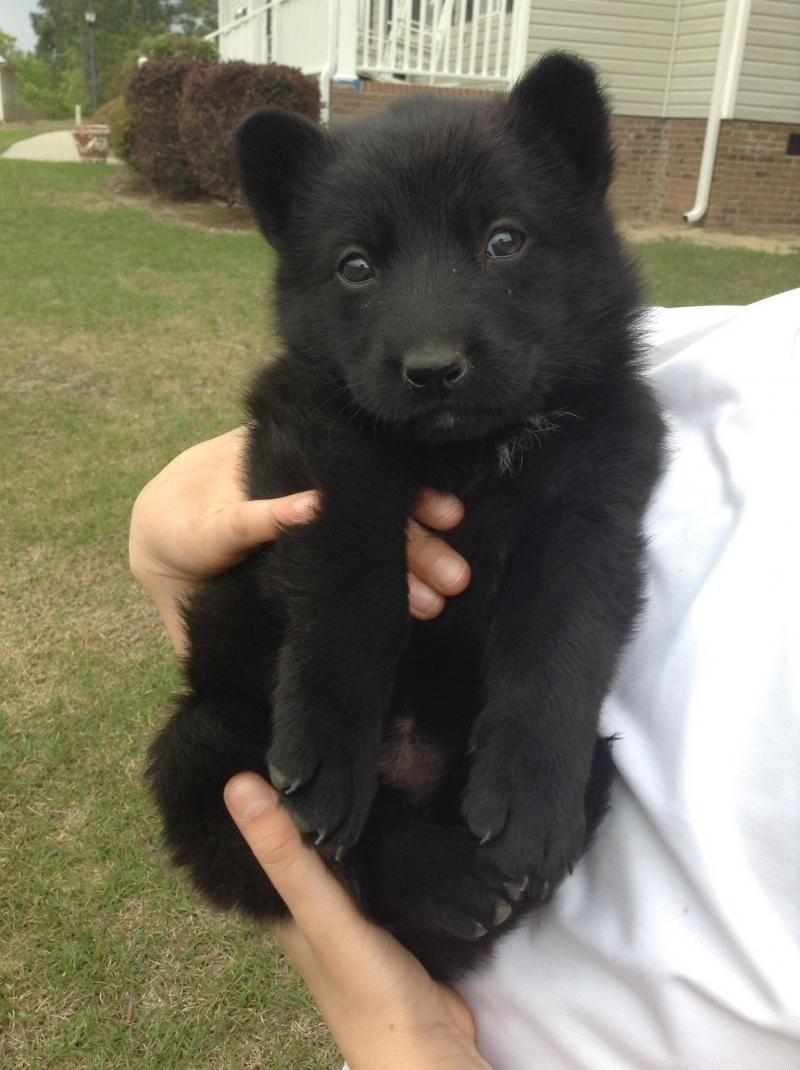 Adopt Bella On Dogs German Shepherd Dogs Shepherd Dog