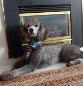 Khalsa Standard Poodle Puppies Poodle Puppy Standard Poodle