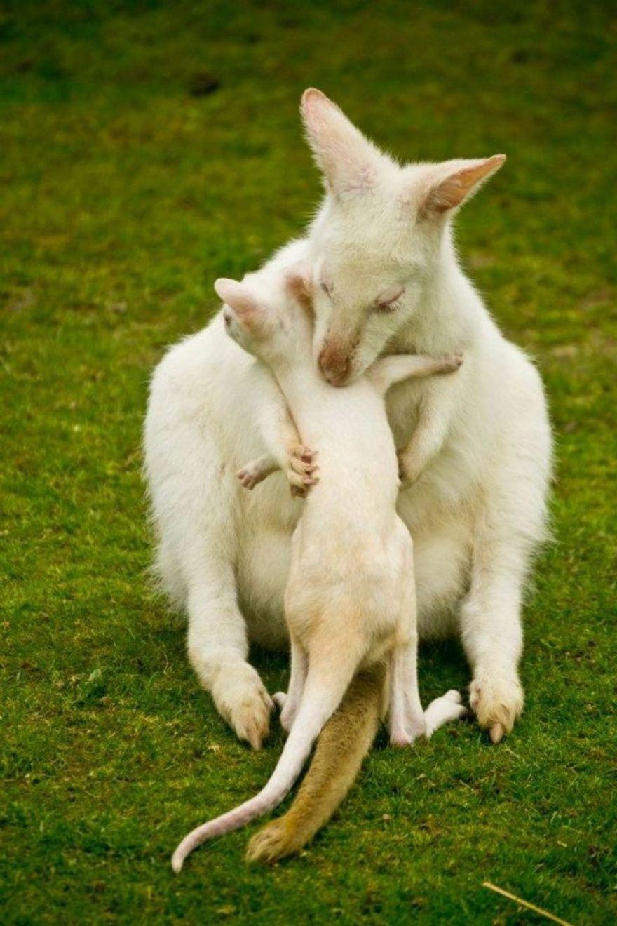 Photo of Albino kangaroo mom and baby.