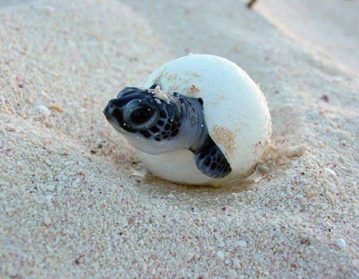 Loggerhead turtle hatching....So cute   PEACE SEA SAND ...