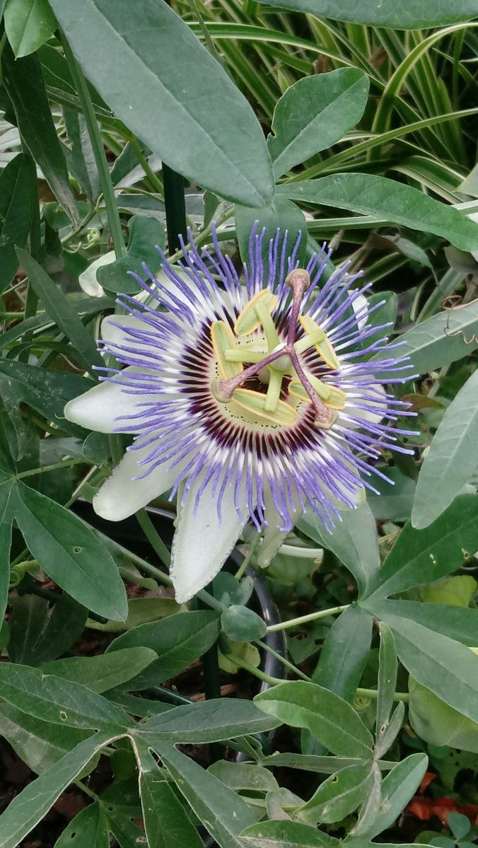 Waterloo Blue Passionflower Passion Flower Plants Green