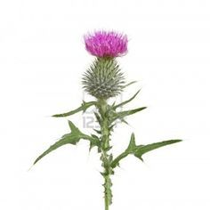 Thistle flower and leaves isolated against white thistle flower and leaves isolated against white mightylinksfo