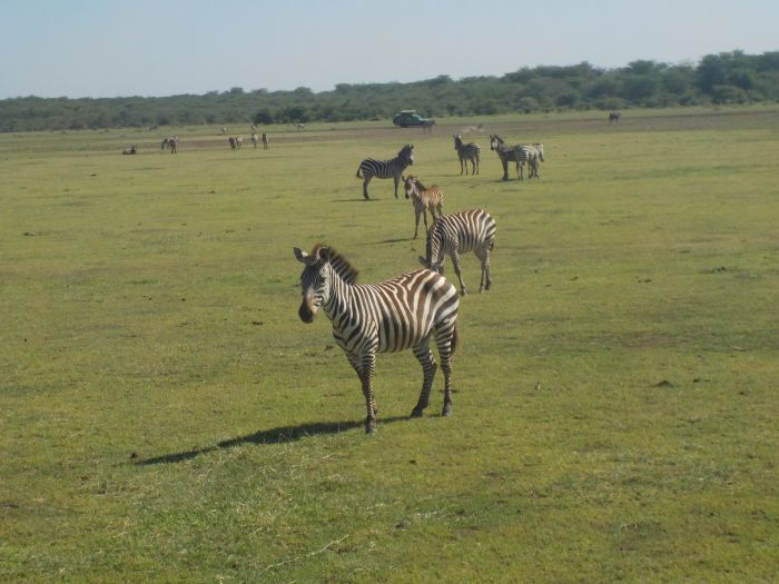 Im ersten Teil der Buschreihe aus Tansania sind wir zwischen dem Serengeti Park und dem Ngorongoro-Krater stehen geblieben. Wir packen also unsere sieben Sachen in den Jeep und verlassen den Sereng...