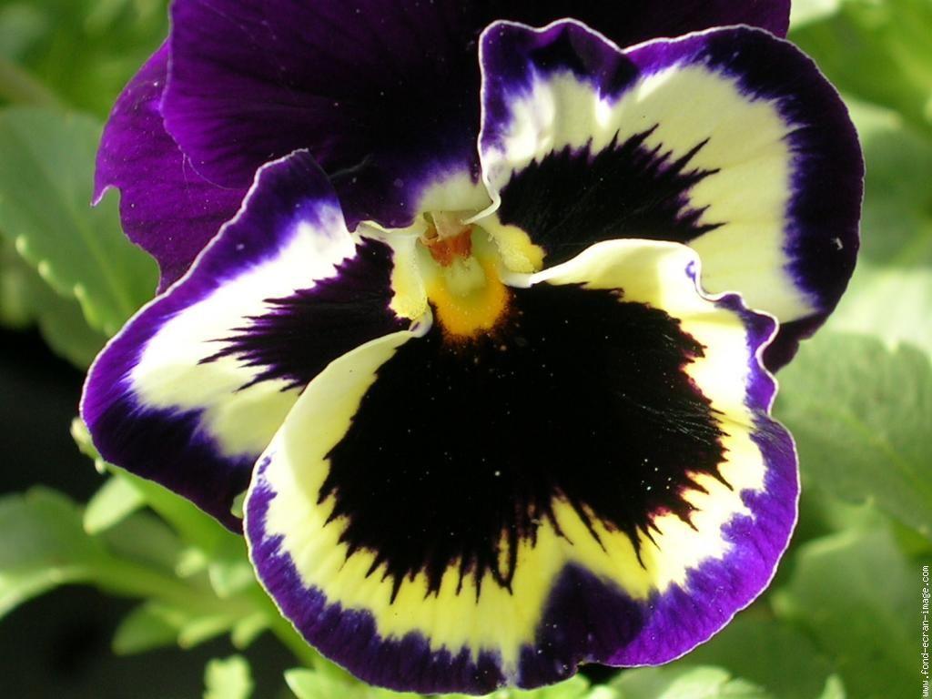 Populaire la fleur pensée | flowers!!! | Pinterest | Pensée fleur, Les  FW95