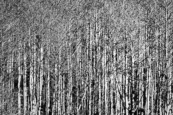 Photograph by Stuart Litoff.  A #forest of #aspen #trees near #Santa Fe, #New Mexico