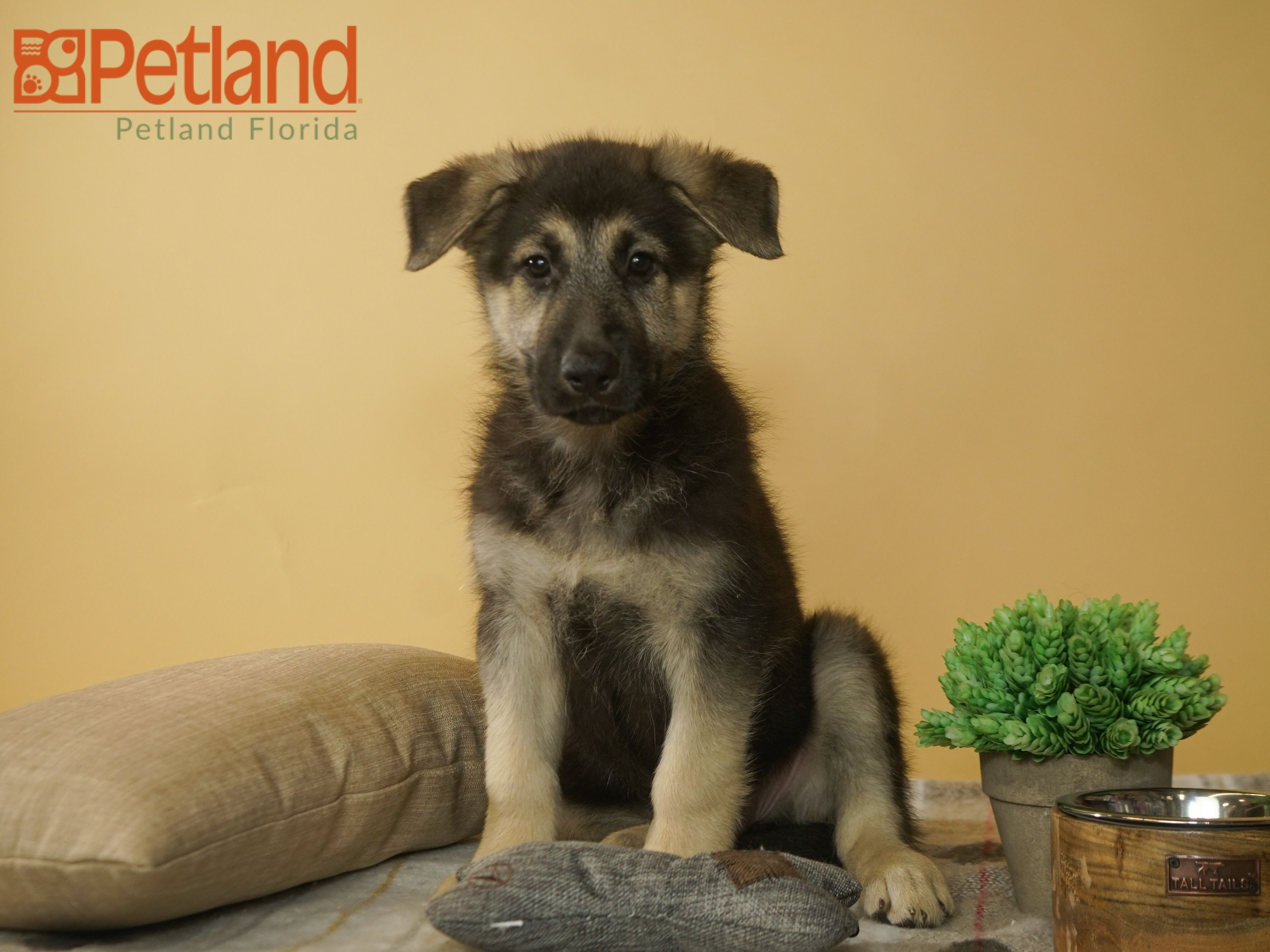 A German Shepherd Is An Adorable Lifetime Friend Find Your Perfect Match At Petland Largo Germanshepherd Puppy Do Puppy Friends Puppies Puppies For Sale