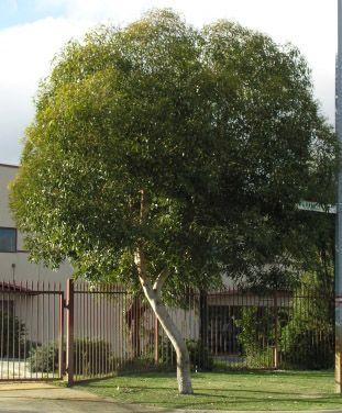 Eucalyptus Dwarf Sugar Gum 12 P*T Backyard Garden 640 x 480