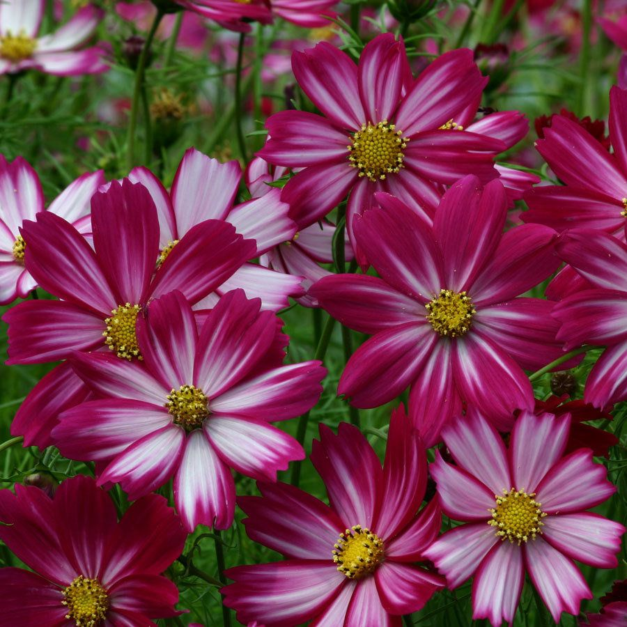 Peppermint Candy Cosmos Seeds Annual Flowers Cosmos Flowers Flower Seeds