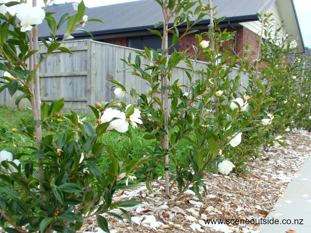 Camellia hedge in the making foliage plants pinterest for New garden plants