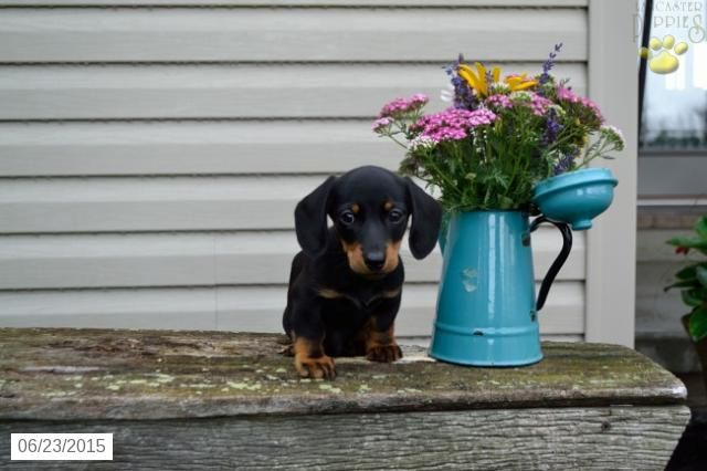 Dachshund Puppy For Sale In Ohio Buckeyepuppies Puppies For
