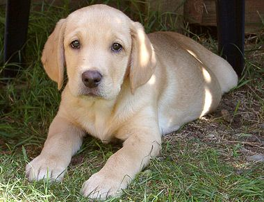 Libra Dog Breed Information