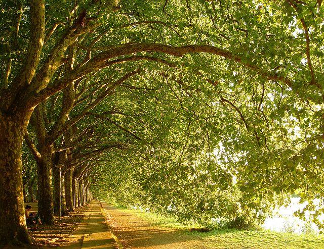 Avenida dos plátanos/London planes avenue_Ponte de Lima, Portugal