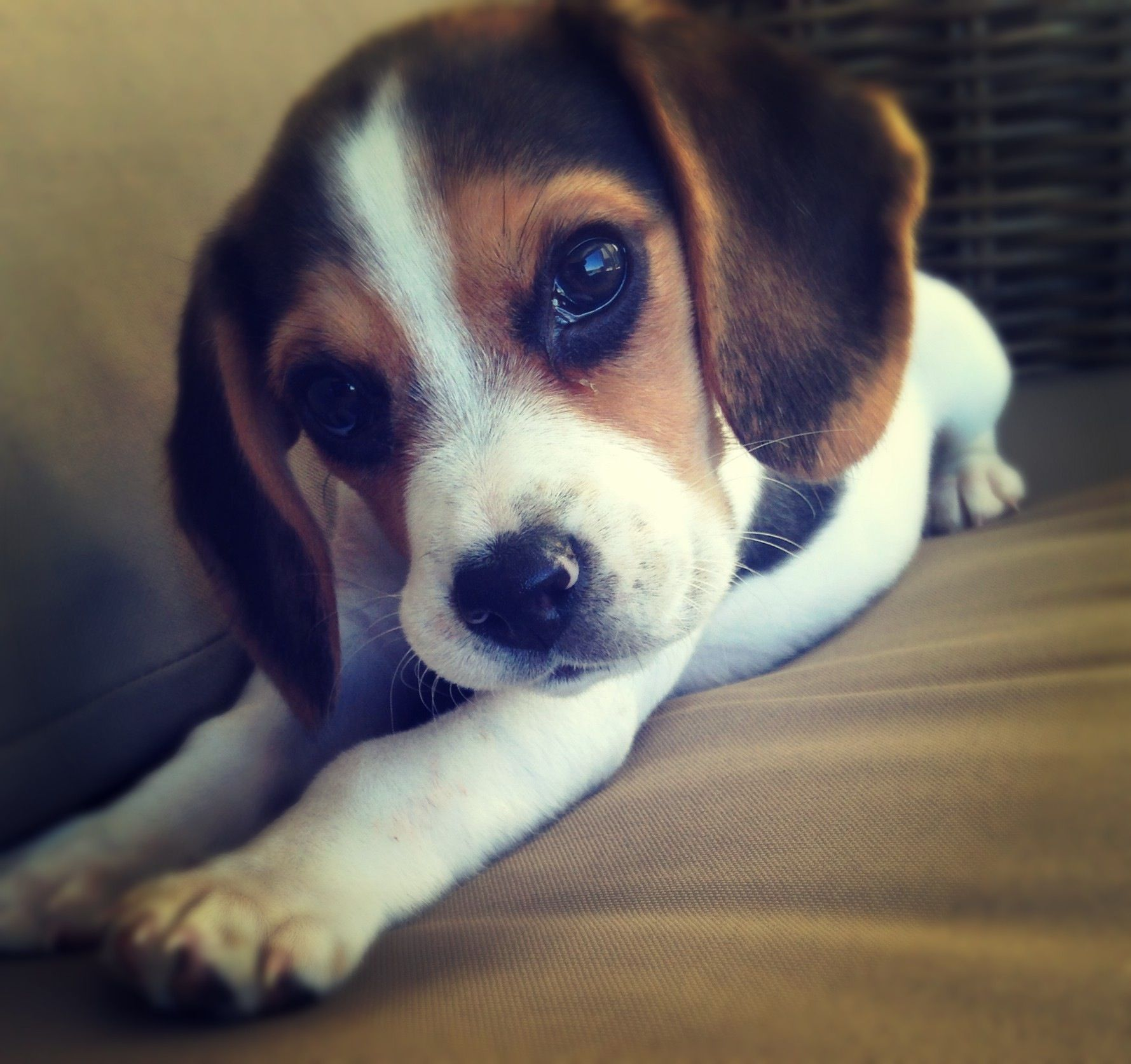 Bubbles Beagle Puppy 9 Weeks Beagle Puppy Cute Animals Puppies Puppies