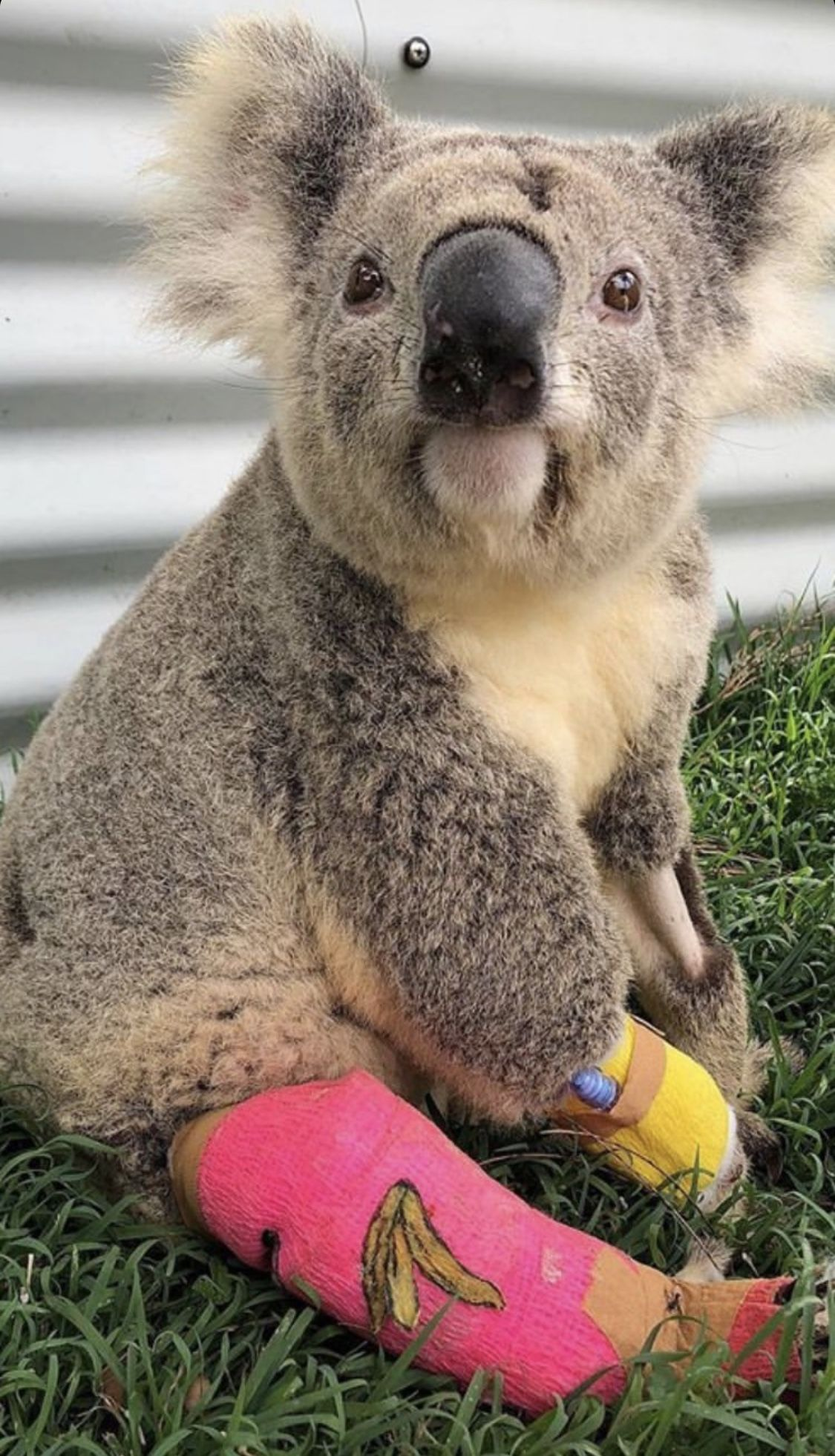 Pin by ℛᎽᎯℕℕ8 on ℙIℂᏆUℛℰЅ ᏆℋᎯᏆ I ℒᎾᏉℰ in 2020 Koala