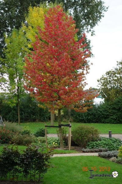 Foto liquidambar styraciflua 39 worplesdon 39 amberboom tuin for Garden deciduous trees