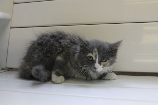 Gorgeous Dilute Tortie Kitten With White Feet Adoptable In Meadville Pa Tortie Kitten Homeless Pets Pets
