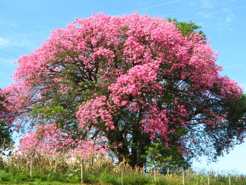 Ceiba Speciosa Silk Floss Tree World Of Succulents Flowering Trees Tree Seeds Beautiful Tree