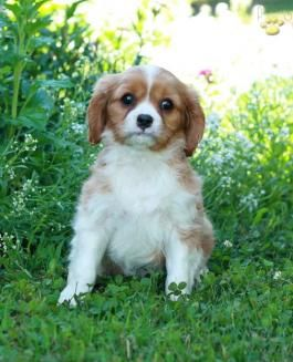 Cavalier King Charles Spaniel Puppies For Sale King Charles Cavalier Spaniel Puppy Spaniel Puppies For Sale Lancaster Puppies