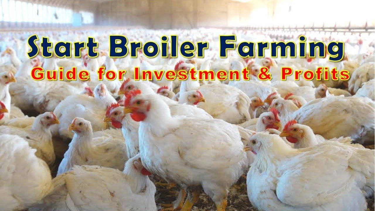 Start broiler farming broiler farming is a rapidly growing
