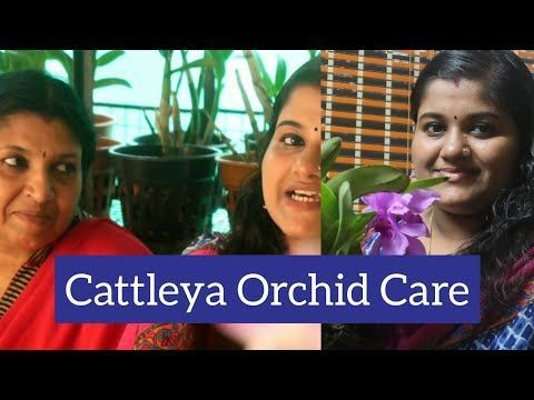 Photo of #Cattleya Orchid Care ! Information About Cattleya Orchid ! How To Grow Cattleya…