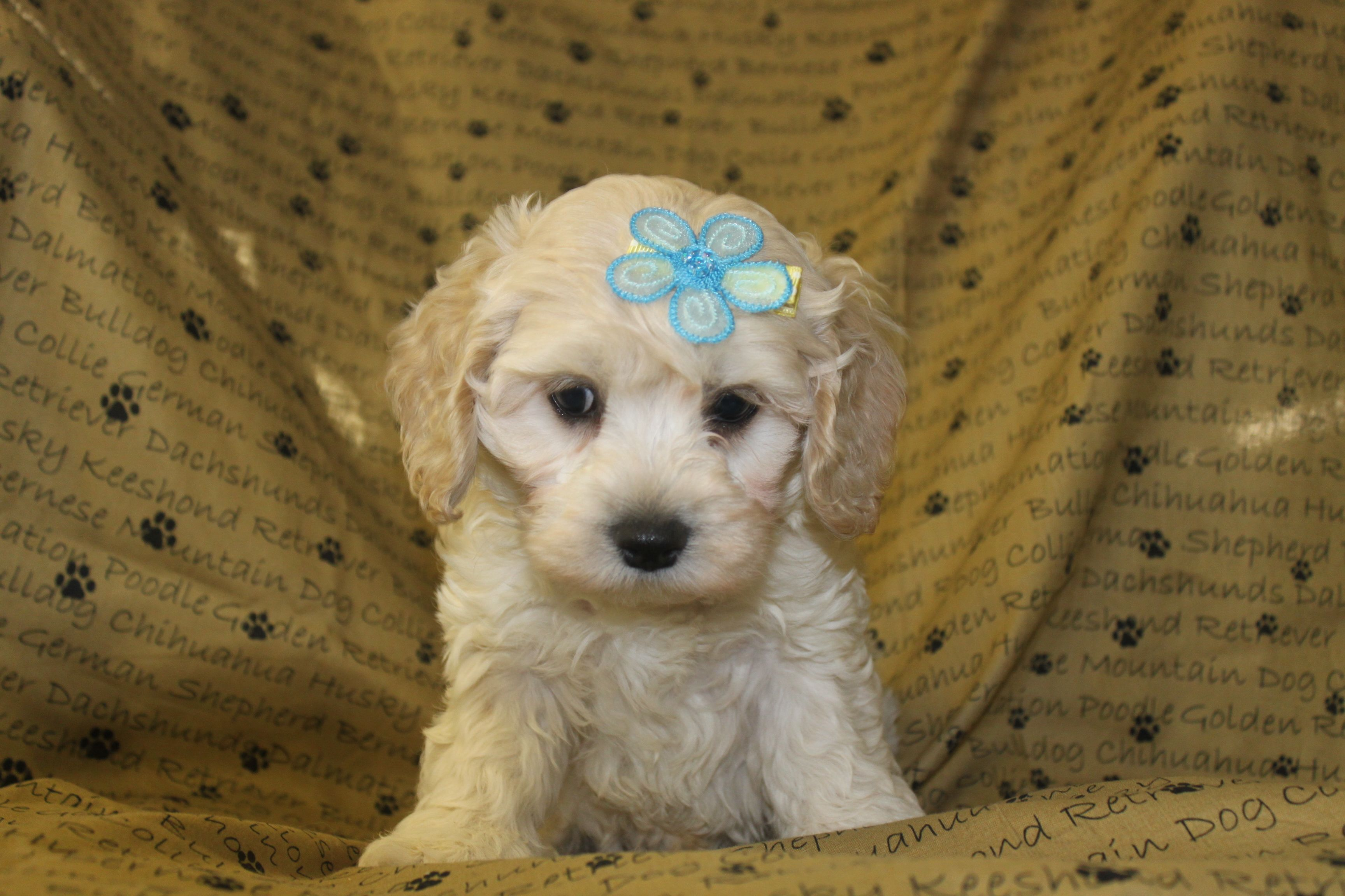 Maltipoo puppies for sale This little man is new to the
