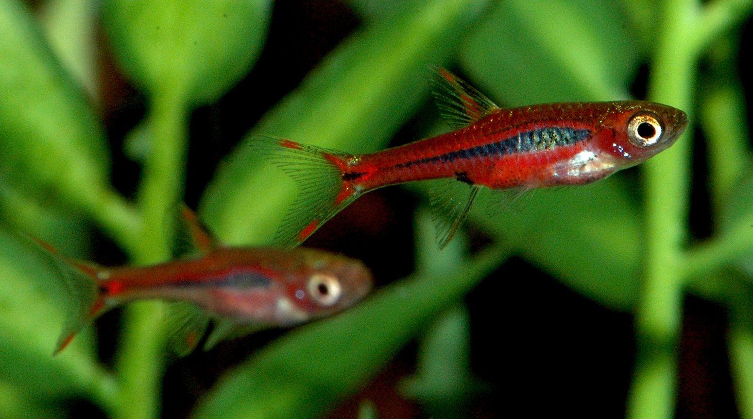 Freshwater aquarium fish rasbora - Wet Spot Tropical Fish