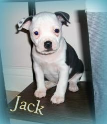 Jack Is An Adoptable Boston Terrier Dog In Evansville In Hello