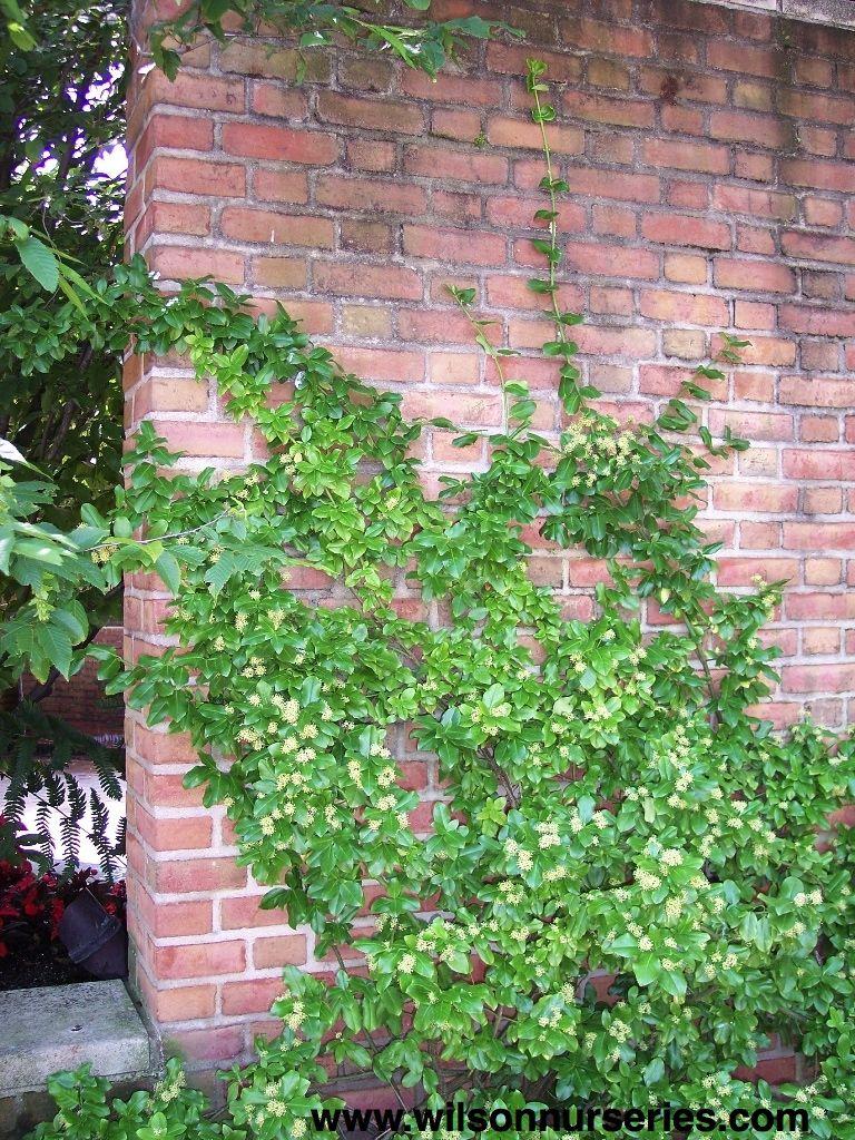 euonymus sarcoxie climber backyard plants pinterest backyard