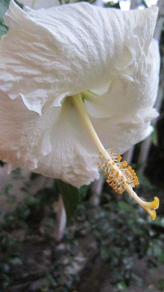 my bunga raya