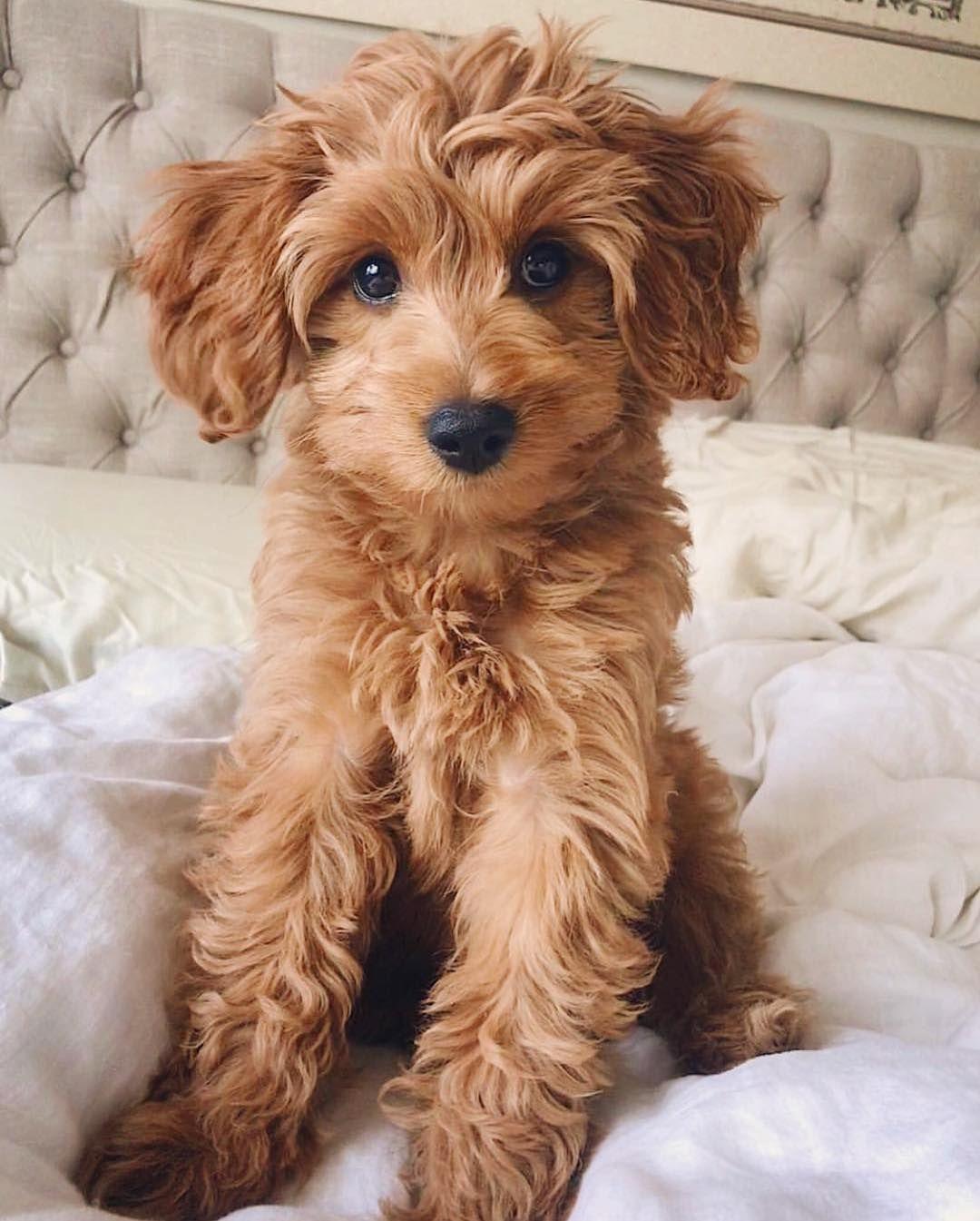 Irish Doodle The Poodle Irish Setter Mix Puppies Cute Dogs