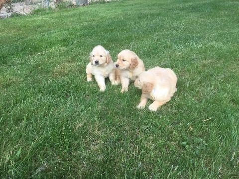 Litter Of 8 Golden Retriever Puppies For Sale In Mattapoisett Ma