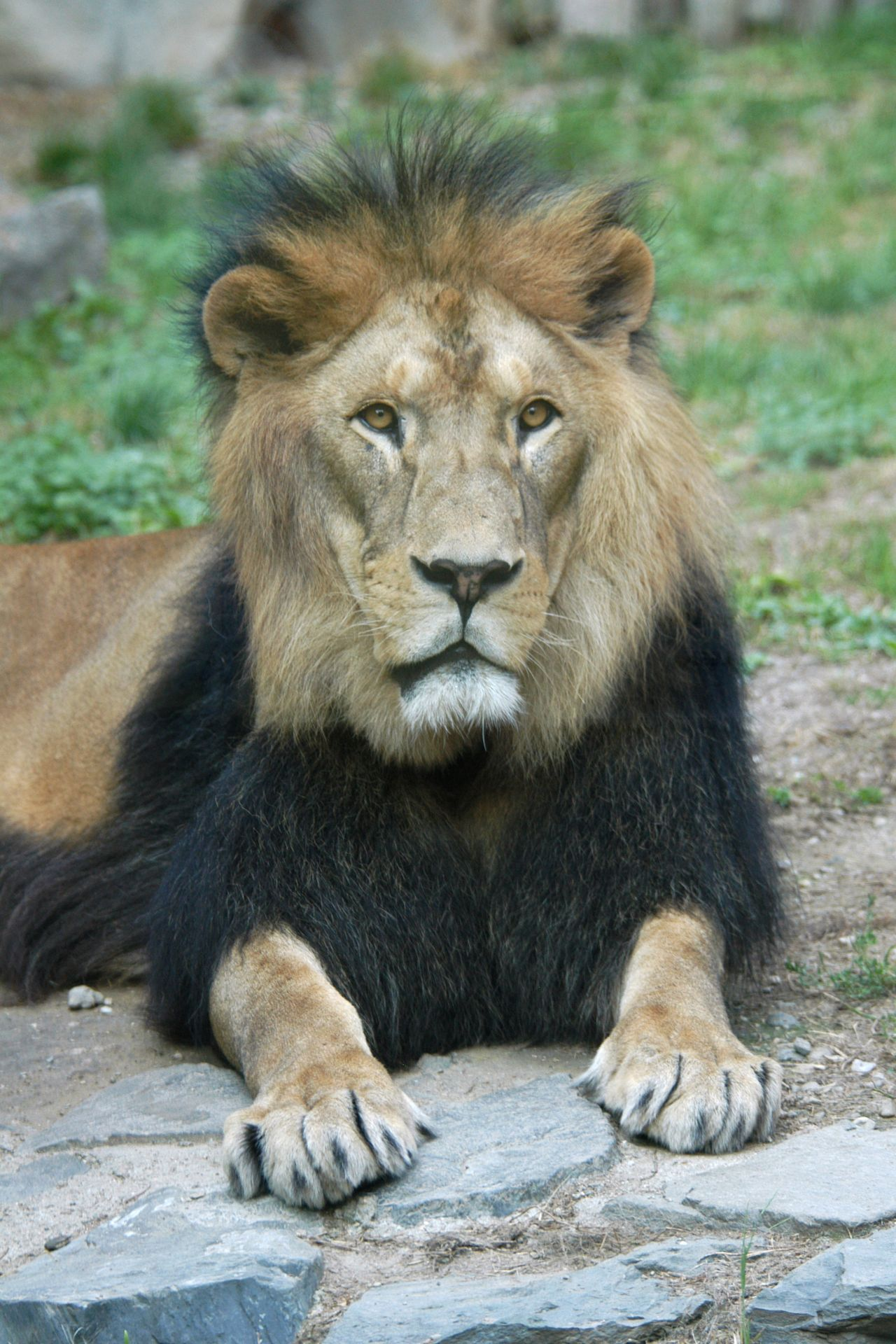 8 Different Species Of Lions With Pictures (With images